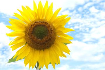 Sonnenblume vorm blauem Himmel - Textfreiraum