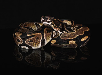 Ball Python Isolated on Black