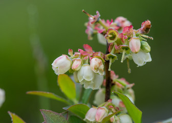 Blueberry Flowers in Spring Morning