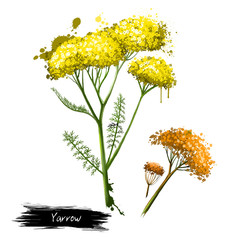 Yellow flowering yarrow plant fresh and dried.