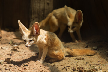 Two fennec foxes on the sand
