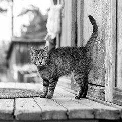Cat on the porch of a village house, black and white photo.