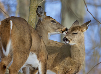 Beautiful funny photo of a pair of the cute wild deers