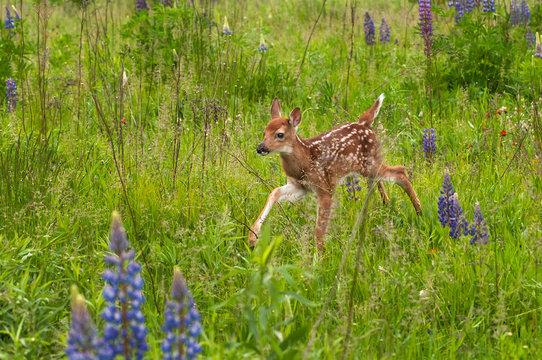 White-Tailed Deer Fawn (Odocoileus virginianus) Runs Through The