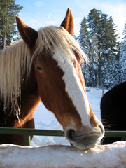 Horse eating snow vertical/brown and white horses face eating snow and ice off a fence post in winter.