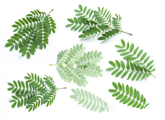 Collection of Tamarind leaves