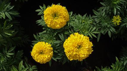 Yellow Calendula Flowers Blooming