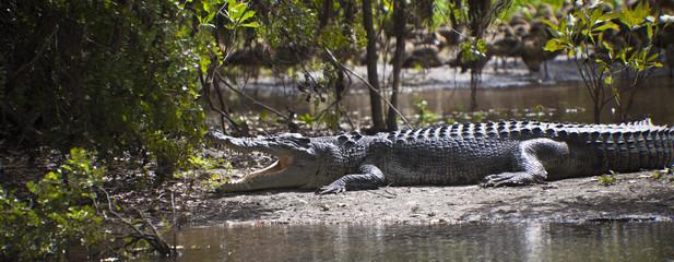 Large Crocodile In Australia