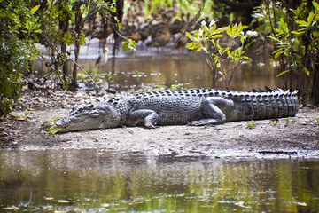 Large Salt Water Crocodile