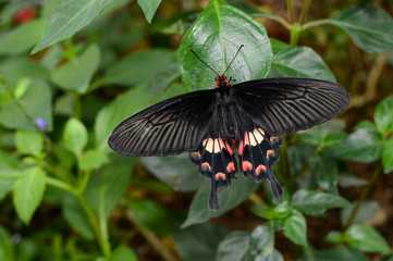 Pachliopta aristolochiae interpositus, also known as common rose butterfly or red-bodied swallowtail
