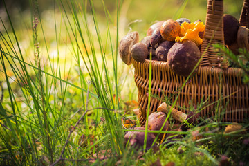 Fall basket full edible mushrooms forest