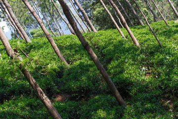 Tea leaves on  plantation. Coonor, Nilgiri, India, Tamil Nadu