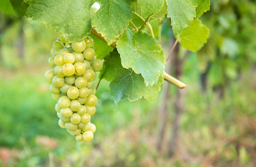 White grapes in summer
