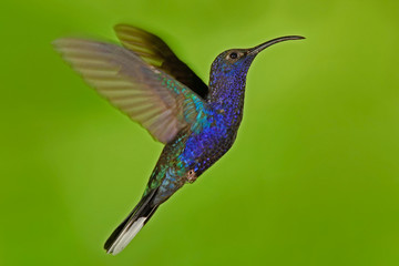 Flying big blue bird Violet Sabrewing with blurred green background. Hummingbird in fly. Flying hummingbird. Action wildlife scene from nature. Hummingbird from Costa Rica in tropic forest.