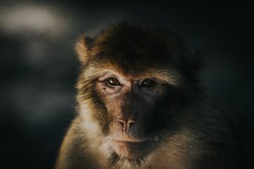 Monkey close up portrait