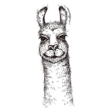 Vector lama head illustration. Llama or alpaca hand drawn ink sketch. Cute mammal animal drawing