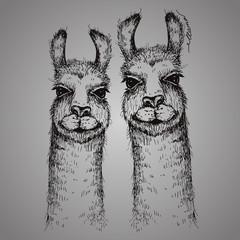 Vector two lamas heads illustration. Llama or alpaca hand drawn ink sketch. Cute pair of mammal animals drawing