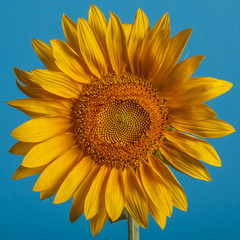 circular sunflower on the clear blue background