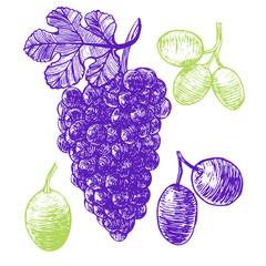 Grape Hand Draw Sketch. Vector