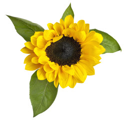 Shiny yellow sunflower with green leaves on white background