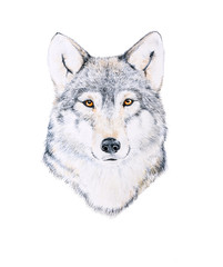 Watercolor painting of a wolf
