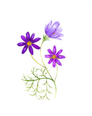 Watercolor painting of a cosmos flowers