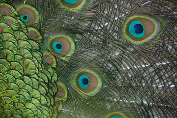 Plumage of the Indian peafowl (Pavo cristatus). Wall mural