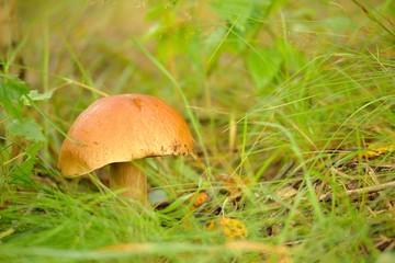 Mushrooms Bolete, fungus in wild (Boletus pinophilus)