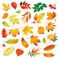 set of differrent beautiful colorful autumn leaves. Isolated design elements on white background. Vector illustration.
