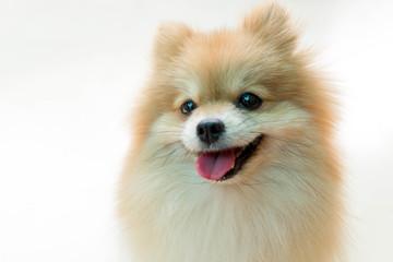 Dog pomeranian spitz smiling