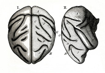 Sensory areas of monkey brain (from Meyers Lexikon, 1895, 7 vol.)