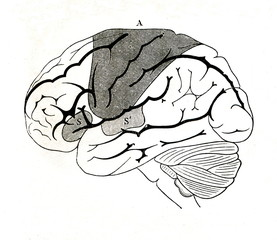 Motor area of human brain (A), motor (S) and sensory areas of speech production (from Meyers Lexikon, 1895, 7 vol.)
