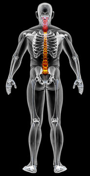 man's body under X-rays. spine bones are highlighted in red. 3D illustration.