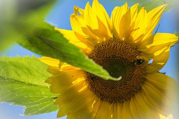 Mammoth Sunflower