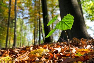 Buche Baum Spross Wald Buchenkeimling  Jungbaum wachsen