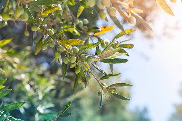 Olive tree branches with green fruits in sunlight