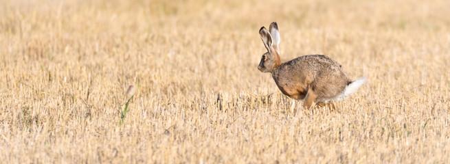 Feldhase (Lepus europaeus) rennt über ein abgemähtes Kornfeld Getreidefeld