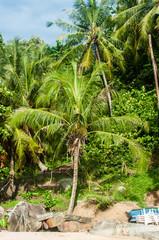 Palm tree, Thailand