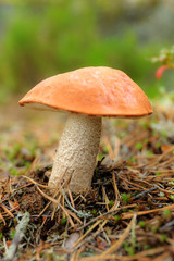 orange-cap boletus in the woods