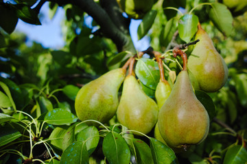 Fresh pears on the branch