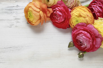 Colorful persian buttercup flowers (ranunculus) on wooden backgr