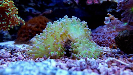 Beautiful ultra green euphyllia frogspawn lps coral