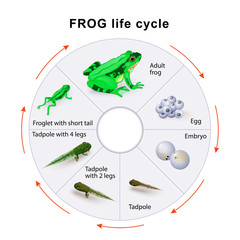 frog life cycle. Amphibian Metamorphosis.