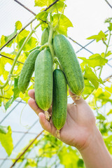 Man hand with bunch of cucumbers. Hothouse, summer sunny day.