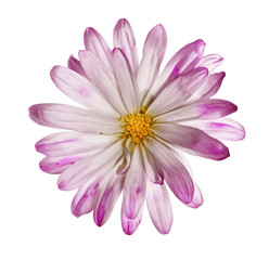Delicate wild flower on pure white background