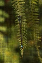 Dragonfly resting on fern