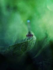 Dragonfly resting on leaf