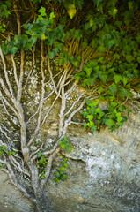 vieux lierre arbre arbuste grimpant sur une pierre naturelle