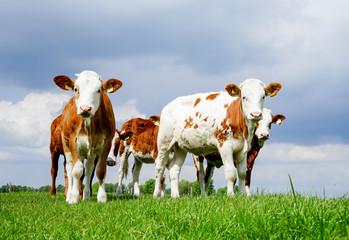 Fototapete - Neugierige Fleckvieh - Rinder auf einer Weide