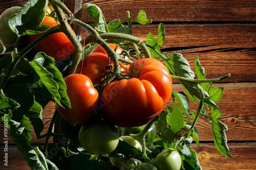 tomatenpflanze mit reifen roten tomaten vor braunem holzbrett stockfotos und lizenzfreie. Black Bedroom Furniture Sets. Home Design Ideas